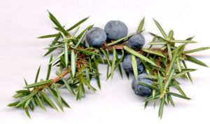 Did you know: Juniper berries were long used in Ancient Greece as a medicine before they were consumed as food.