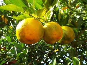 Bergamot essential oil is got from bergamot oranges. This essential oil is extremely good for fading acne scars, rejuvenating dull skin & healing eczema