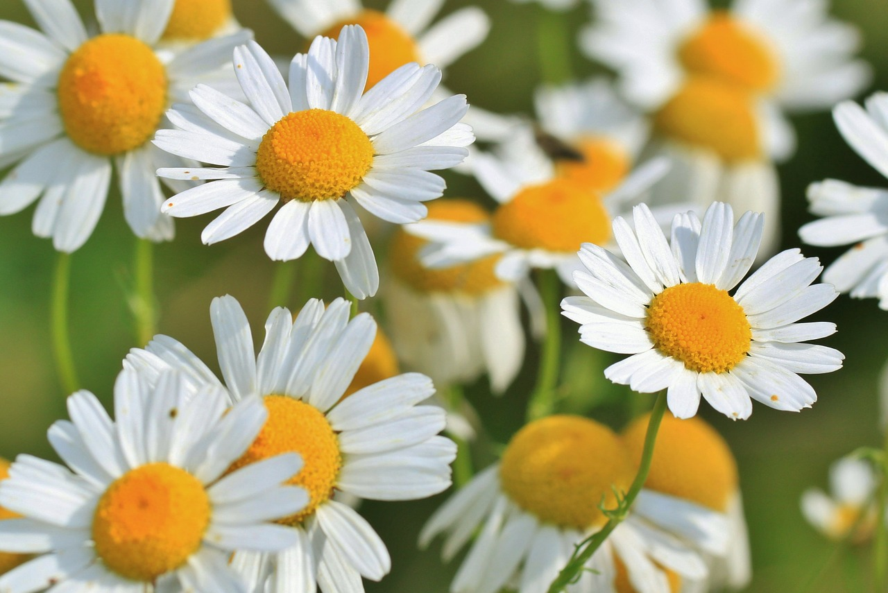 Chamomile essential oil is especially good for treating & soothing dry itchy psoriasis