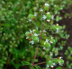 Did you know that sweet marjoram essential oil is also used for headaches, migraines and insomnia