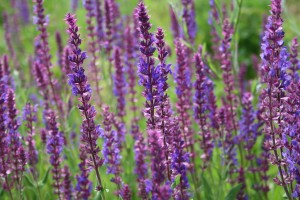 Did you know that lavender essential oil stimulates hair growth and helps regrow bald patches!