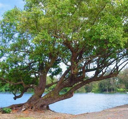 Tamanu tree growing near the ocean