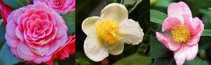 From left: Camellia japonica, camellia sinensis, camellia oleifera